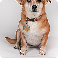 Adopt A Pet :: Fiona the Chi - Chantilly, VA