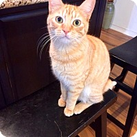 Domestic Shorthair Cat for adoption in Los Angeles, California - Phoebe