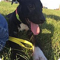 Adopt A Pet :: Ember - Joliet, IL