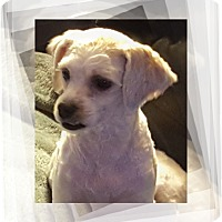 Bichon Frise Mix Dog for adoption in Tulsa, Oklahoma - Pending!!Matilda - IL