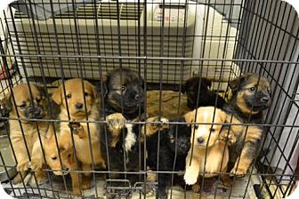 Retriever (Unknown Type) Mix Puppy for adoption in Alpharetta, Georgia - Dunkirk