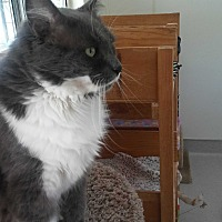 Domestic Mediumhair Cat for adoption in El Cajon, California - Cloudy
