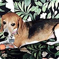 Adopt A Pet :: Snooki - Houston, TX