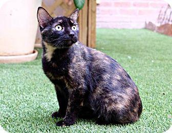 Domestic Mediumhair Cat for adoption in Seattle, Washington - Melanie