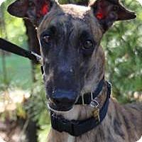 Greyhound Dog for adoption in Nashville, Tennessee - Leon