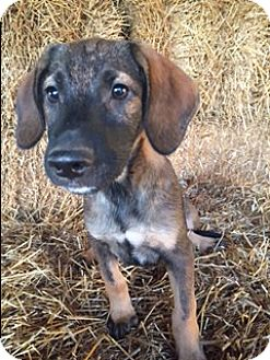 Labrador Retriever/German Shepherd Dog Mix Puppy for adoption in Bedminster, New Jersey - Bolden