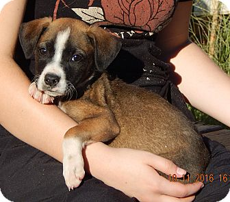 German Shepherd Dog/English Bulldog Mix Puppy for adoption in Niagara Falls, New York - Wink (6 lb) Video!
