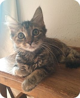 Domestic Mediumhair Kitten for adoption in Albany, New York - Mia