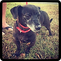 Dachshund Mix Dog for adoption in Grand Bay, Alabama - Lucy