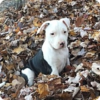 Adopt A Pet :: WILLIAM - Wooster, OH