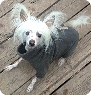 Chinese Crested Dog for adoption in Osseo, Minnesota - Dexter & Harold