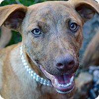 Mixed Breed (Medium) Mix Puppy for adoption in Aubrey, Texas - Gemma