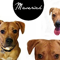 Adopt A Pet :: Maverick - Des Moines, IA
