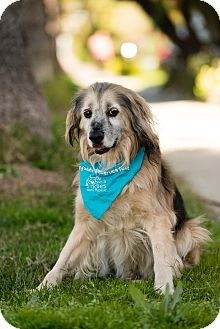 Spaniel (Unknown Type)/Golden Retriever Mix Dog for adoption in Los Angeles, California - Mobley