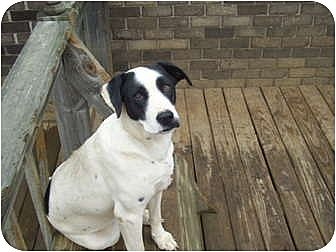 Shepherd (Unknown Type) Mix Dog for adoption in Hayden, Alabama - Patches