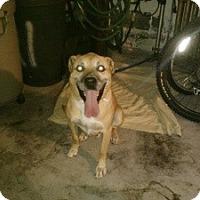 Adopt A Pet :: Steve - bloomfield, NJ