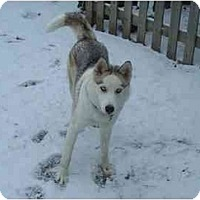 Adopt A Pet :: Holly - Belleville, MI