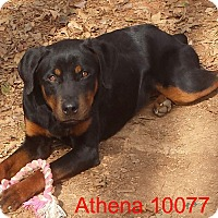 Adopt A Pet :: Athena - baltimore, MD