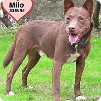 Cattle Dog/Shepherd (Unknown Type) Mix Dog for adoption in San Antonio, Texas - 338495 Milo
