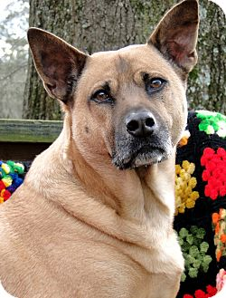 German Shepherd Dog/Chow Chow Mix Dog for adoption in Zebulon, North Carolina - Stanley - Heart of Gold!