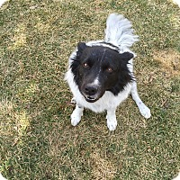 Adopt A Pet :: Shiloh - Denver, CO