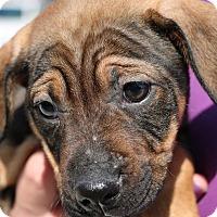 Adopt A Pet :: Valentina-Adopted! - Detroit, MI