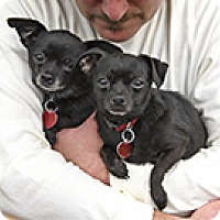 Chihuahua Mix Dog for adoption in Pt. Richmond, California - PIPPA