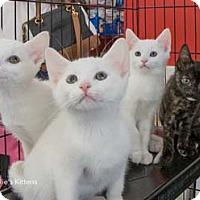 Adopt A Pet :: Fudgey - Merrifield, VA