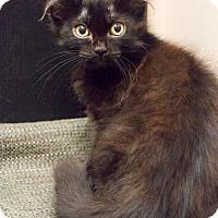 Adopt A Pet :: Laddie - Chicago, IL