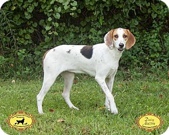 Coonhound (Unknown Type) Mix Dog for adoption in Jacksonville, Florida - Tink