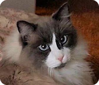 Ragdoll Cat for adoption in Ogden, Utah - Shadow