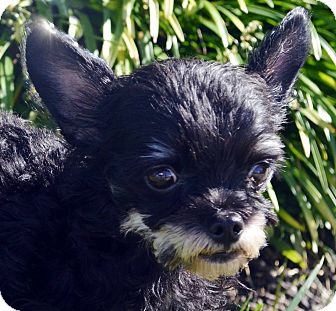 Yorkie, Yorkshire Terrier Mix Dog for adoption in Bridgeton, Missouri - Timber