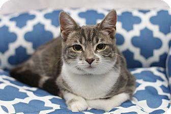 Domestic Shorthair Kitten for adoption in Monrovia, California - Drago