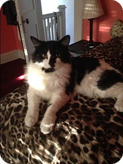 Domestic Mediumhair Cat for adoption in Columbia, Maryland - Bastian_Courtesy Post