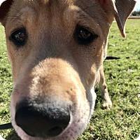 Adopt A Pet :: Petunia - Allen, TX