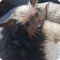 Adopt A Pet :: PEBBLES - PT ORANGE, FL