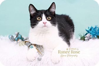 Domestic Shorthair Kitten for adoption in Sterling Heights, Michigan - Oreo