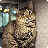 Adopt A Pet :: Comet - Dallas, TX