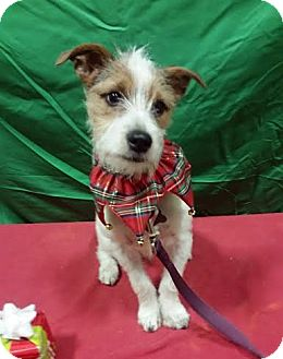 Fox Terrier (Wirehaired)/Terrier (Unknown Type, Small) Mix Puppy for adoption in Detroit, Michigan - PJ-Adopted!