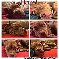 Adopt A Pet :: Hazel - Toledo, OH