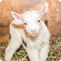 Adopt A Pet :: ELIZABETH - Dedham, MA