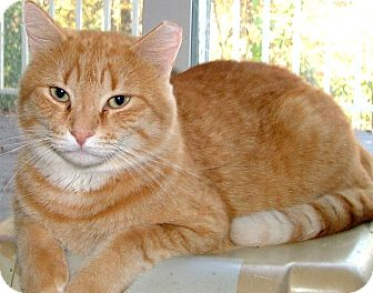Domestic Shorthair Cat for adoption in Chattanooga, Tennessee - Cooter