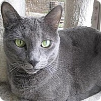 Russian Blue Cat for adoption in Agoura Hills, California - Adele