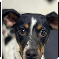Adopt A Pet :: Samson - Shelter Island, NY