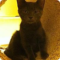 Adopt A Pet :: Sanson - Reston, VA