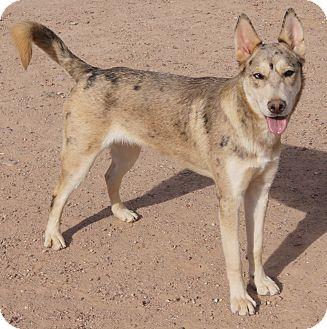 Australian Shepherd/Catahoula Leopard Dog Mix Dog for adoption in Apache Junction, Arizona - SPIRIT