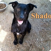 Adopt A Pet :: Shadow - Boaz, AL