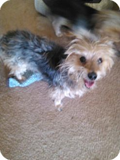 Yorkie, Yorkshire Terrier Mix Dog for adoption in Goodyear, Arizona - Pete