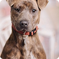Adopt A Pet :: Crockett - Portland, OR
