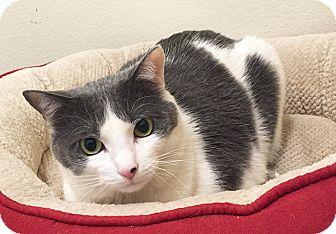 Domestic Shorthair Cat for adoption in Colorado Springs, Colorado - Bobo